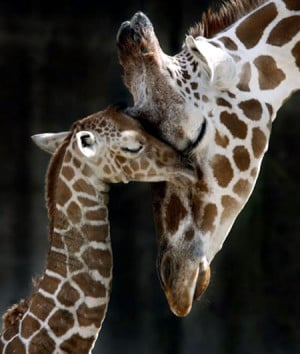 Funny mom and baby giraffe
