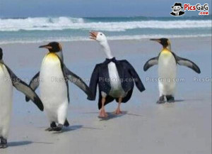 Funny Penguin Duck Humorous Picture and This Funny Duck Wear Black ...