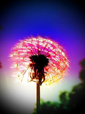 Dandelion Fireworks-PHOTO 183-The halfway mark by Louise Docker
