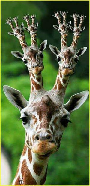 Graphic Humor Giraffes