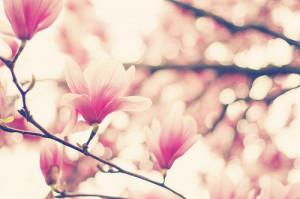 bokeh, flowers, photograph, photography, pink, pretty
