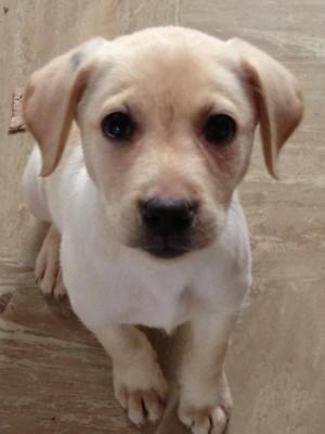 labrador girl £ 350 posted 11 months ago for sale dogs labrador ...