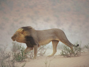 lion south africa photograph by chris johns national geographic a lion ...