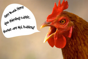 of a very angry rooster screaming