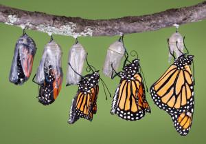 Butterflies in cocoons emerging