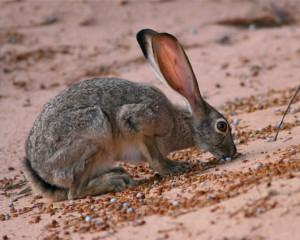 Big Jack Rabbits Jackrabbits: big feet and