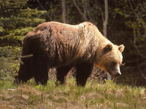 Picture of Grizzly bear: Bears eat many food, including fruit, nuts ...