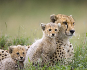 Wild Animals Cheetah Family