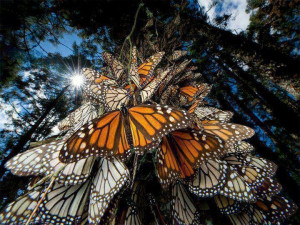 Monarch Butterflies. .Mexico