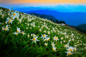 consider the lilies of the field they toil not neither do they spin ...