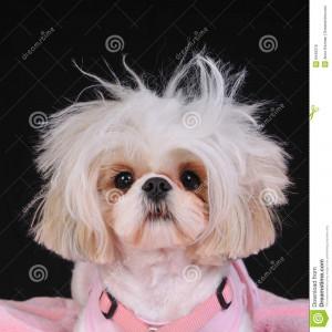 Shih Tzu Dog with wild hair, having a bad hair day.