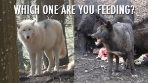 Which Wolf Inside Of You Are You Feeding?