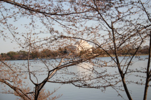 ... Cherry Tree Quote The jefferson memorial through the cherry trees