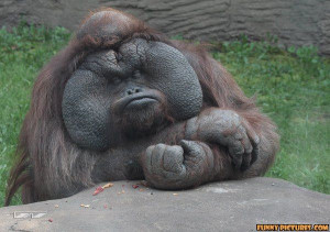 ... .net/images/2011/05/02/fat-and-happy-orangutan_130434351742.jpg
