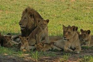 Lion Pride Lion Pride Lion pride lion