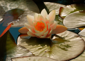 ... here: Home > Shop > Products > White water lily (quote on the front
