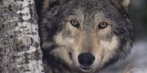 GRAY-WOLF-facebook.jpg
