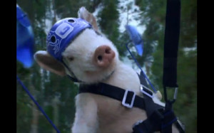 Geico+pig+commercial