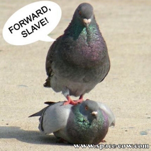 ... animals funny picture funny pictures funny pigeon picture pigeon slave
