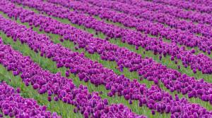 Download Beautiful purple tulip farm 1920x1080 Wallpaper