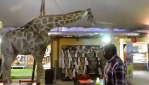 Perdy the giraffe walks through the restaurant of the Lion Park animal ...