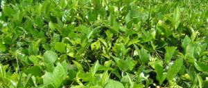 Healthy Loose Leaf Tea Varieties White Men Fitness Page