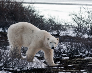 Polar Bear Funny Quotes