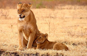 And so were the four growling lioness moms around me.