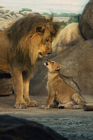 lion cub father and son