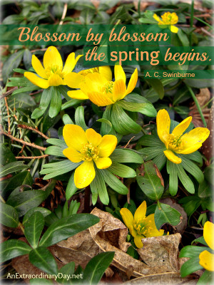 Spring's Official Arrival :: Winter Aconites :: The Week at a Glance ...