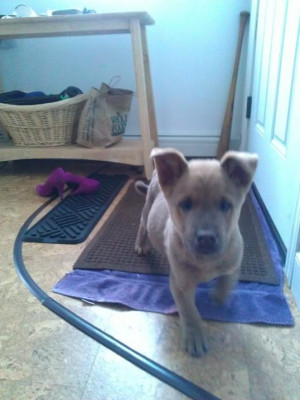 scout our new puppy