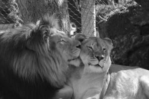 Lioness And Li...