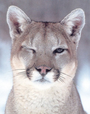 Eastern cougars – mythic species