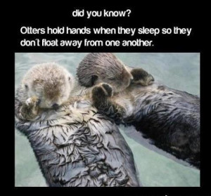 Otters hold hands when they sleep