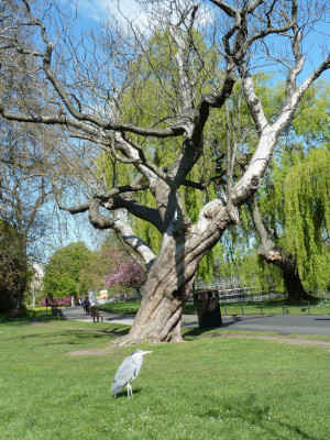 Indian Bean Tree Square