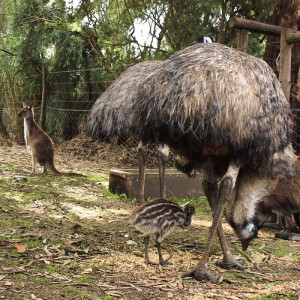 Emus, Kangaroo Island - Jess and Jer's Travel Pictures from ...