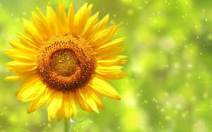 Yellow Sunflower Wallpapers Pictures Photos Images