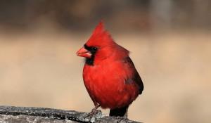 Download Cardinal 1024x600 Wallpaper