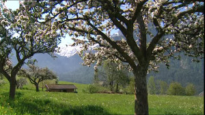 700296311-sciliar-apple-blossom-apple-tree-south-tyrol.jpg