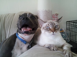 Cat Hates Pitbull Dog's Happiness So Much