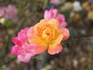Money Rose Buds Flower