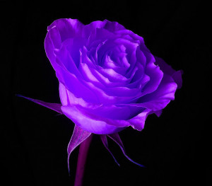 Color Roses | Flowers of Purple Colors | New Collection of Purple Rose ...