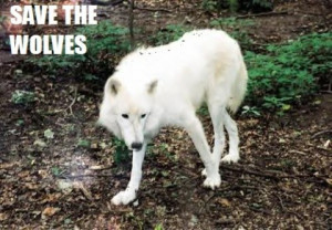 Save-the-wolves-save-the-wolves-foundation-25443796-480-334.jpg