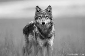 ... lone wolf quotes lone wolf quotes lone wolf quotes wolf wisdom lone