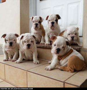 English-Bulldog-Puppies-Show-Quality.jpg
