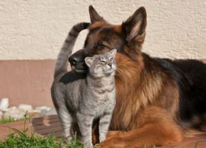 Unlikely Friendship Between Grey Kitty and German Shepherd