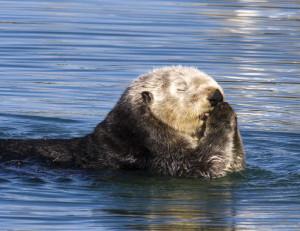 sea otter saying prayers