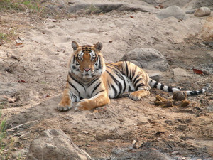 Research Cut Short in Indian Tiger Preserves