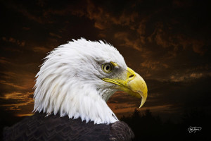 Bald Eagle Freedom