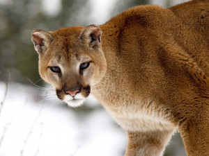... the ears stand up straight cougars have powerful forequarters neck